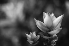 Siam Tulip Flower Black And Wh...
