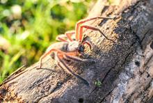 Hairy Huntsman Wood Spider Wit...