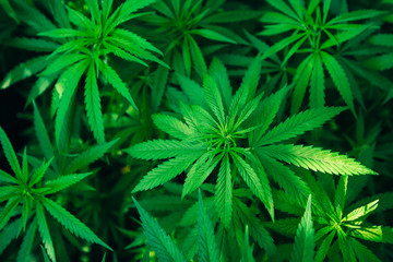 Fototapeta Popularne marijuana plant background wallpaper, cannabis hemp leaf outdoor