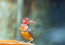 Red-and-yellow Barbet Near Feeders. Trachyphonus Erythrocephalus