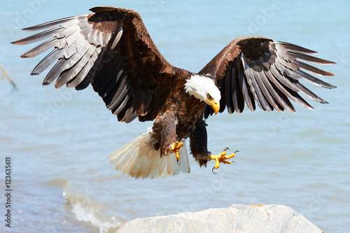 Foto op Plexiglas Eagle Bald Eagle in flight