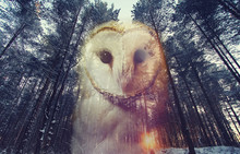 Double Exposure : Barn Owl And...