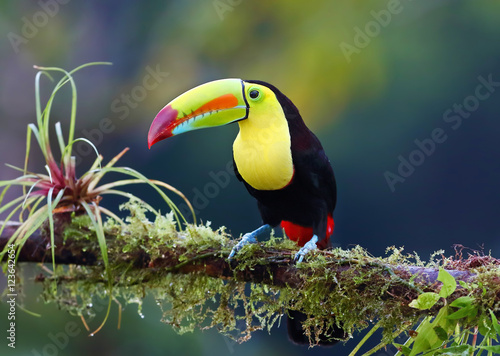 Ingelijste posters Toekan Keel-billed toucan perched on a moss covered branch in Costa Rica