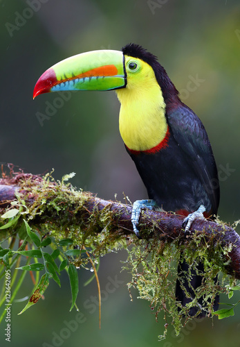 Tuinposter Toekan Keel-billed toucan on branch in Costa Rica