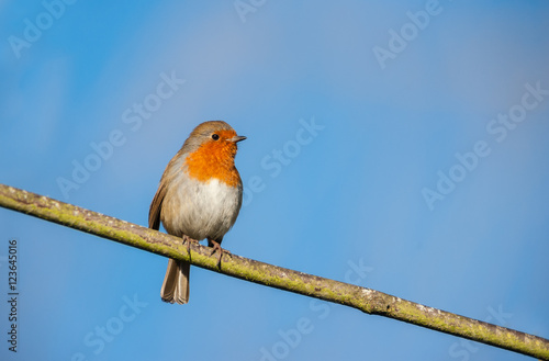 Staande foto Vogel Cute little robin bird on a tree branch on a sunny autumn evening