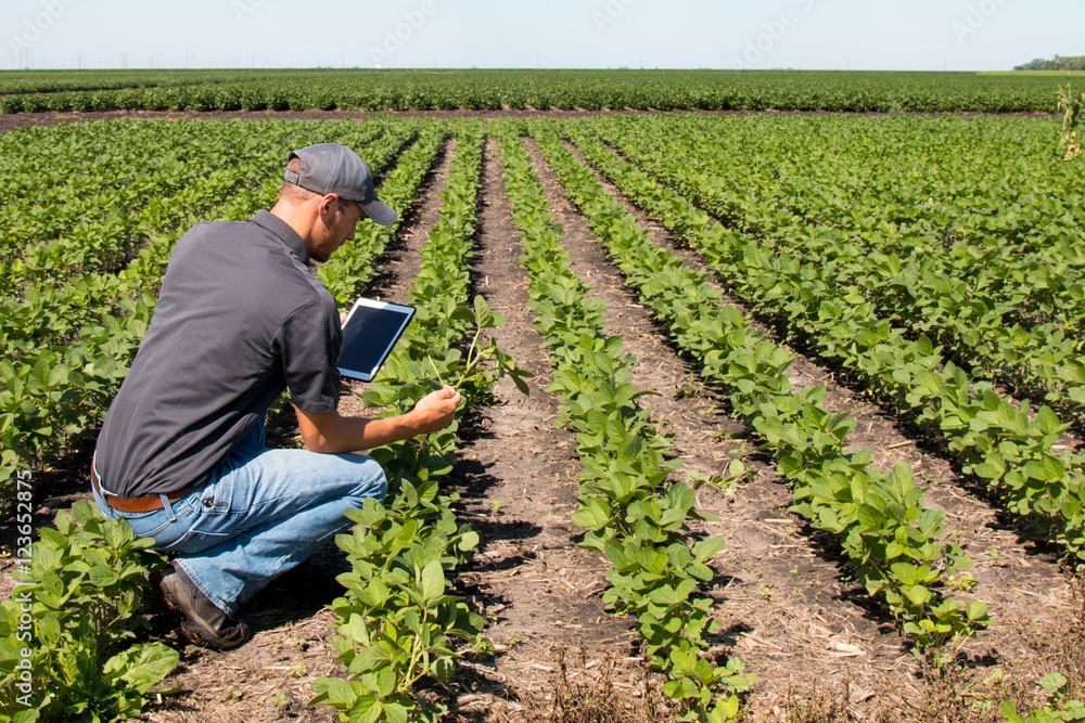 Fototapety, obrazy: Agronomist Using a Tablet in an Agricultural Field