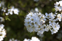 Bunch Of White Plumb Blossom W...