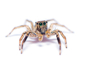 The hairy spider isolated on the white background.