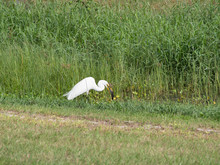 White Egret With Lunch