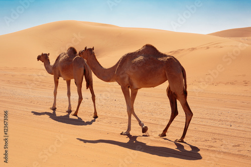Poster Maroc camels in the desert