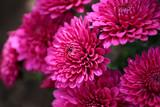 Яркие розовые  осенние хризантемы.