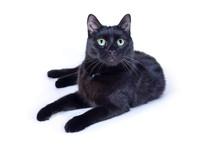 Black Cat Lying Isolated On White Background