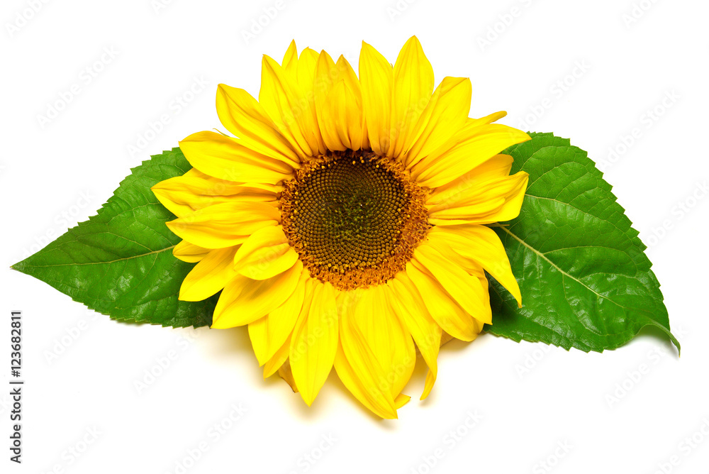 Flower of sunflower with leaf isolated on white background
