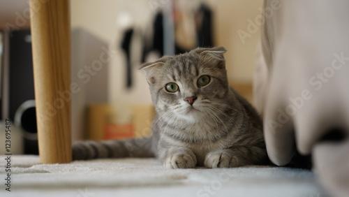 Foto op Aluminium Kat こちらを見つめる飼い猫