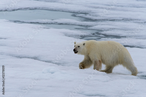 Polar bear on the pack ice north of Spitsbergen