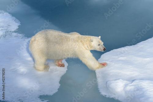 In de dag Ijsbeer Polar bear on the pack ice north of Spitsbergen