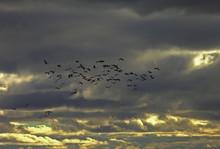 A Flock Of Cranes