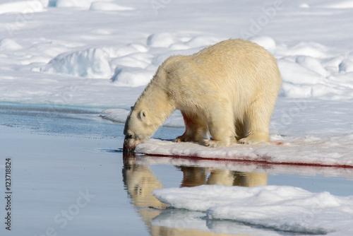 Foto op Aluminium Ijsbeer Polar bear on the pack ice north of Spitsbergen