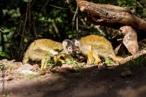 Foto op Plexiglas Aap an Squirrel monkey