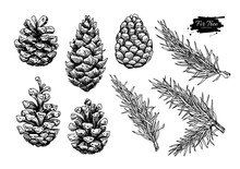 Pine Cone And Fir Tree Set. Botanical Hand Drawn Vector Illustra