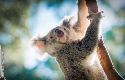 Recess Fitting Koala Climbing Koala