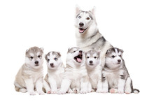 Puppies Husky Sitting Together With Mother