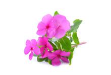 Beautiful Pink Vinca Flowers (madagascar Periwinkle) Isolated On