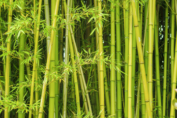 Fototapeta Do gastronomi green bamboo background