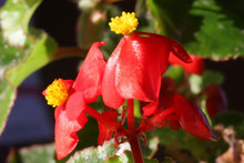 Red Mini Petunia