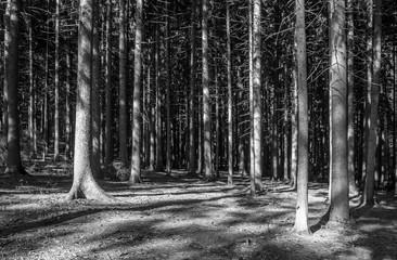 Fototapeta Czarno-Biały Nadelwald Monochrom