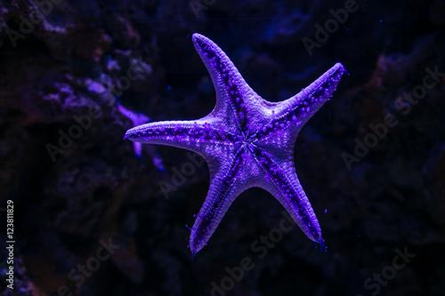 Purple Starfish Poster