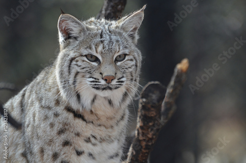 Foto auf Leinwand Luchs Amazing Lynx Bobcat
