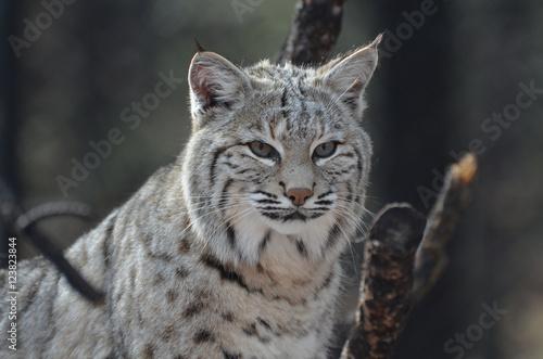Foto auf Leinwand Luchs Face of a Lynx Bobcat
