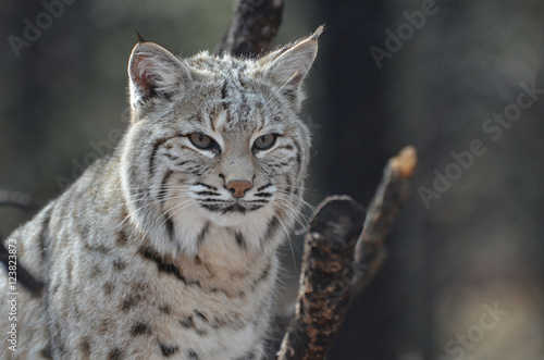 Poster Lynx Face of a Canadian Lynx
