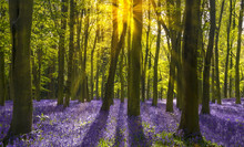 Sunshine Streams Through Beech Trees In Bluebell Woods Of Oxford
