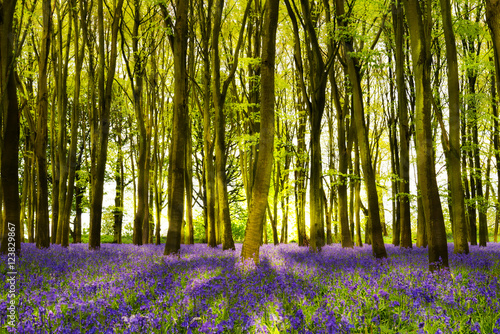 Foto op Canvas Bestsellers Sunshine streams through beech trees in bluebell woods of Oxford