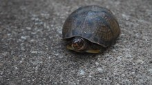 Three-toed Box Turtle Crawling...
