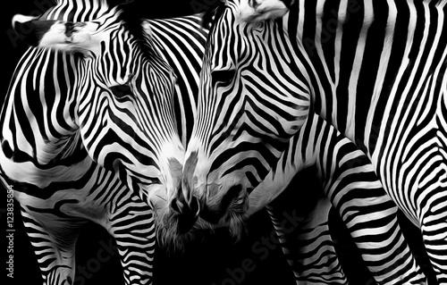zebry-w-czerni-i-bieli