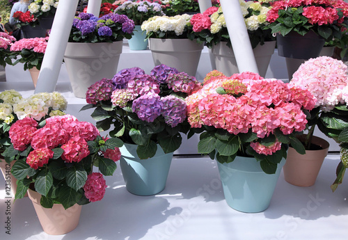 La pose en embrasure Hortensia Multicolored Hydrangea hortensia flowers in pots