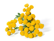 Medicinal Plant Tansy (Tanacetum Vulgare) Isolated On A White Ba
