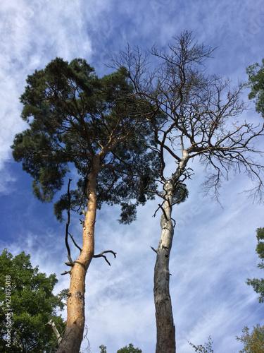 Valokuva  Pin sylvestre à deux âges de son développement