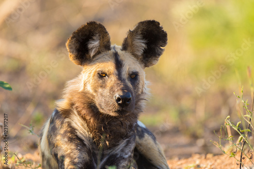 In de dag Hyena Close up and portrait of a cute Wild Dog or Lycaon lying down in the bush. Wildlife Safari in Kruger National Park, the main travel destination in South Africa.