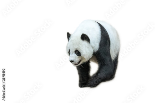 Keuken foto achterwand Panda The Giant Panda, Ailuropoda melanoleuca, Also known as panda bear, is a bear native to south central China. Panda walking in front, isolated on white background.