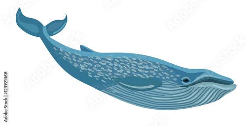 Fototapeta premium Wektor płetwal błękitny na białym tle