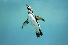 Humboldt Penguin Underwater Swimming Wings Open Looking
