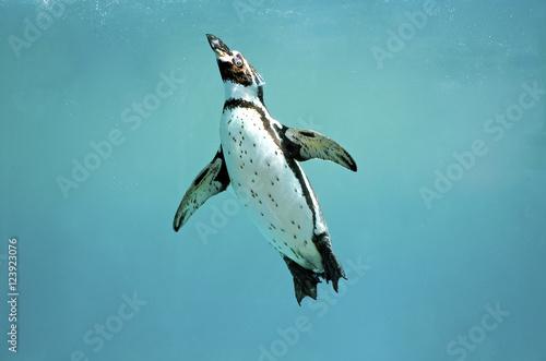 Foto auf AluDibond Pinguin Humboldt penguin underwater swimming wings open looking