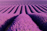 Fototapeta  - Blooming lavender in a field at Provence