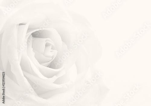 Beautiful toned white rose close-up as wedding background. Soft