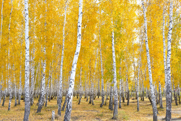 Fototapeta autumn birch forest
