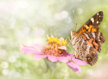Dreamy Image Of An American Painted Lady Butterfly